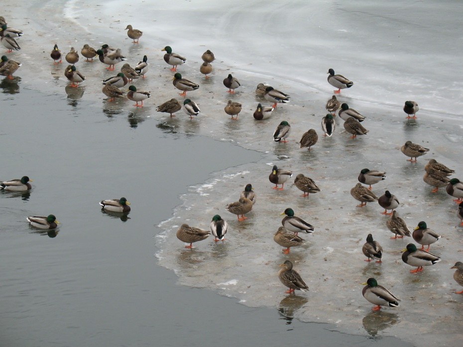 ducks_on_frozen_Hudson_River_Troy_2014-02-03_3.jpg