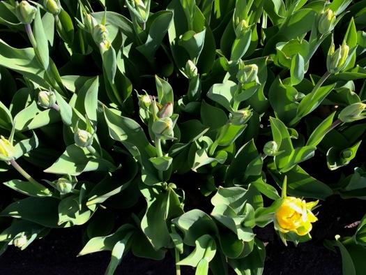 early blooming tulip Washington Park 2015-04-28