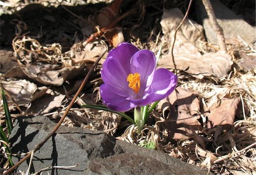 first flower spring