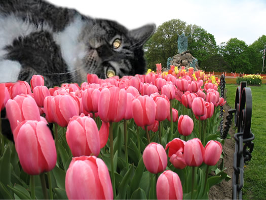 flabby tabby relaxing with tulips