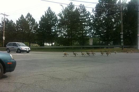 geese crossing in troy