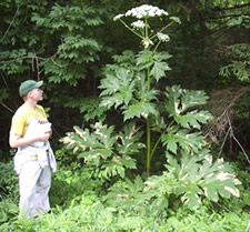 giant hogweed nys dec