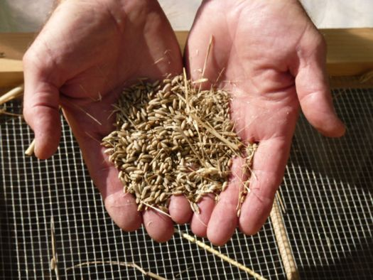 grain after threshing.jpg