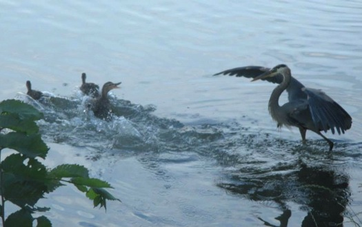great_blue_heron_ducks_julie_madsen.jpg