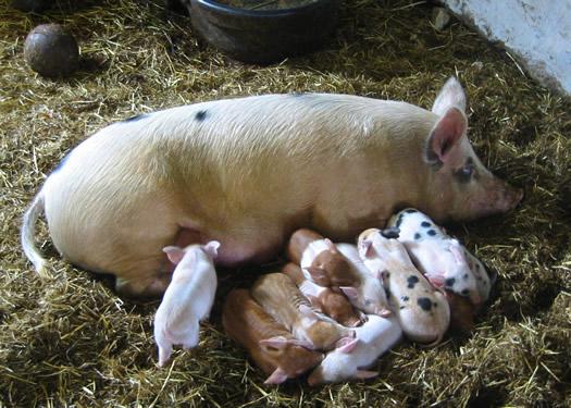 hancock shaker baby pigs