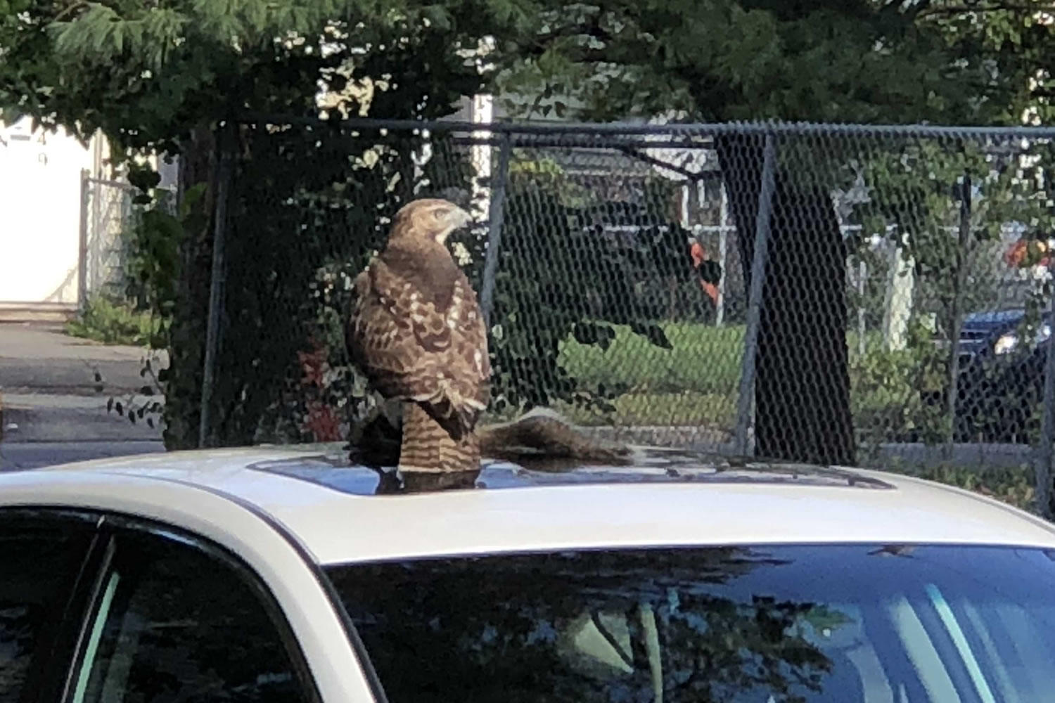 hawk on Lark Street via reader Margaret