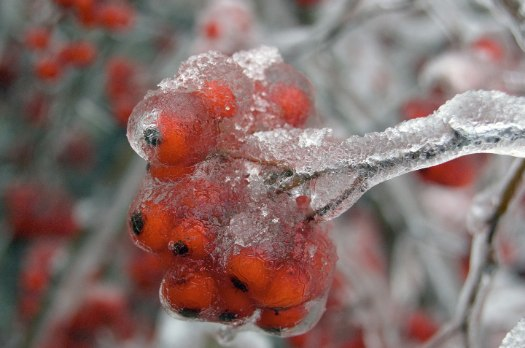 ice storm 2008-12-12 frozen berries