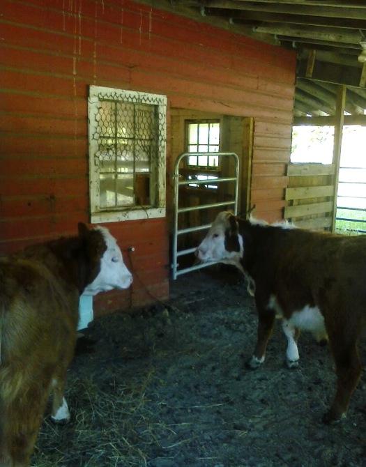 jon_beef_steers_barn.jpg