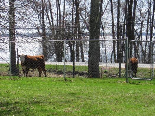 jon_beef_steers_behind_fence.jpg