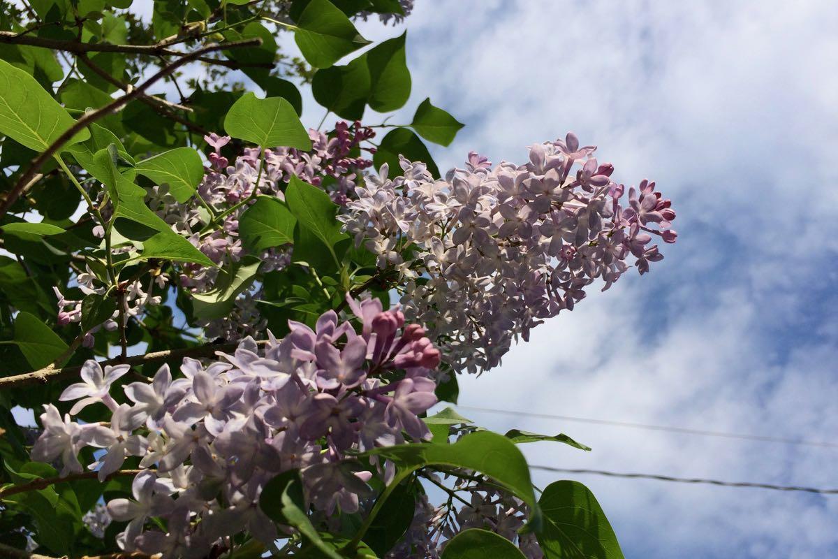 lilac in sun 2018-05-14