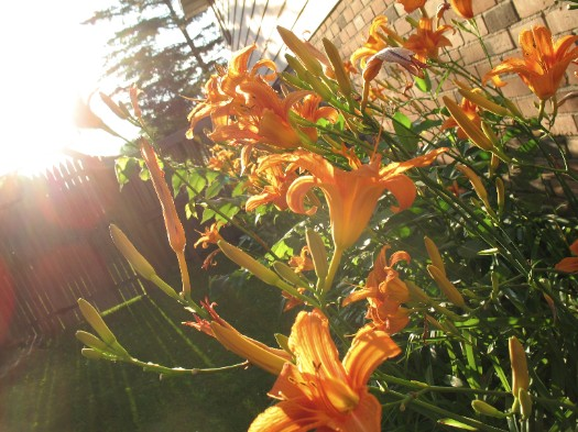 lillies in the late sun