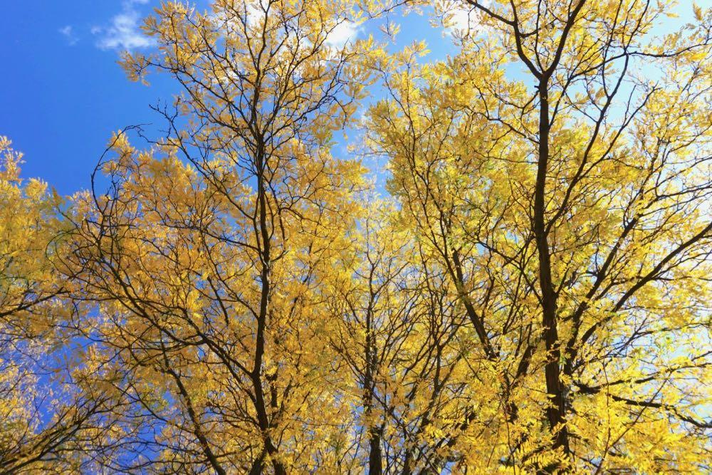 locust trees Albany mid October