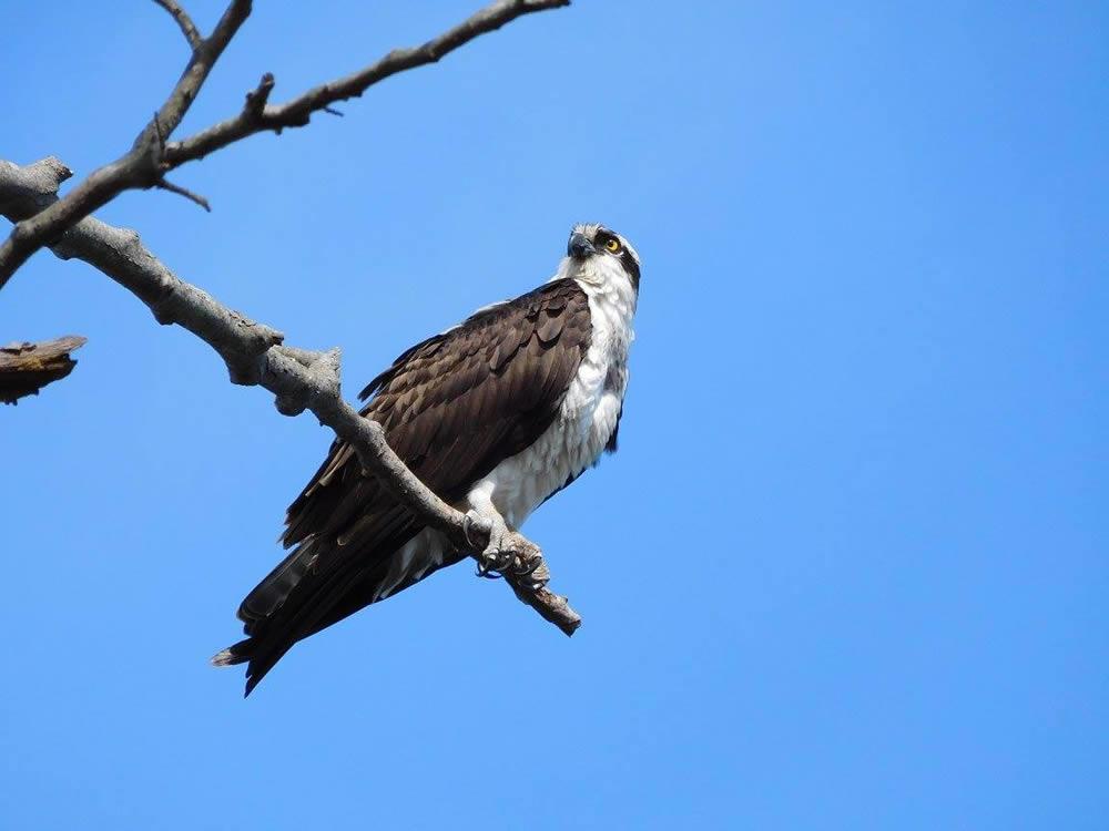 long_island_julie_madsen_bayard_cutting_arboretum_osprey.jpg