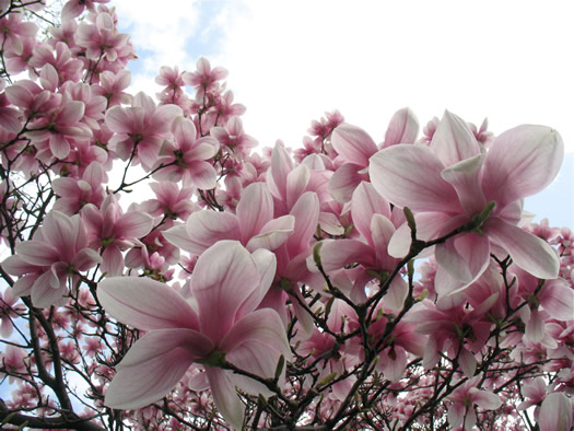 magnolias 2011 April