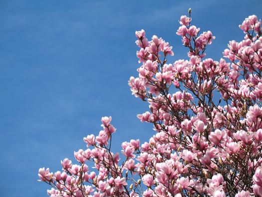 magnolias march 2012