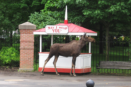 moose at saratoga track.