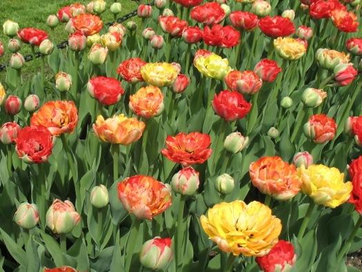morris_gudanov_tulips.jpg