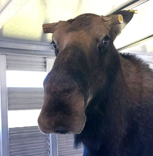 nys dec halfmoon moose