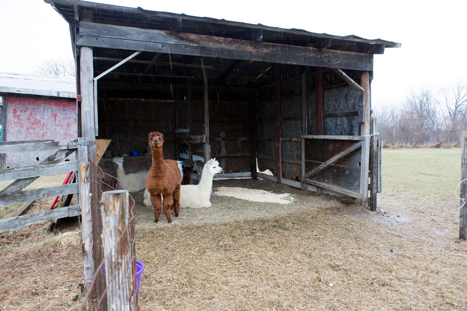 open_house_Chatham_Farmhouse_alpacas.jpg