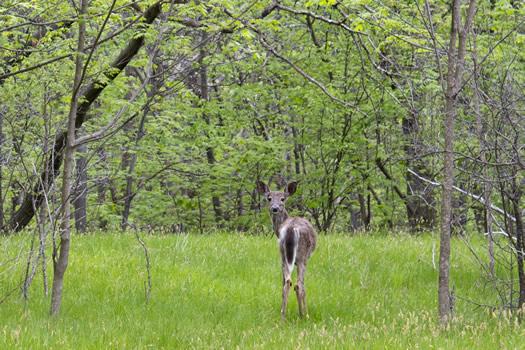 peebles island deer