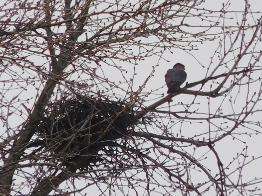 peregrine_falcon_and_nest_julie_madsen.jpg