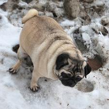 pooping pug