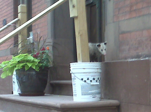 possum on stoop