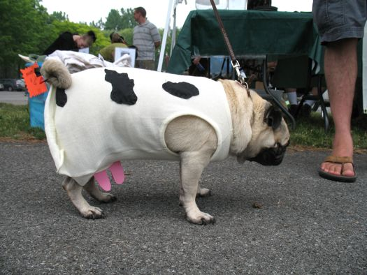 pug as a cow