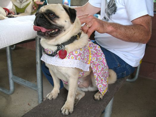 pug in a flower dress