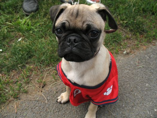 pug in a jersey
