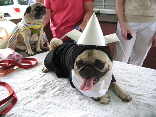 a pug dressed like a nun