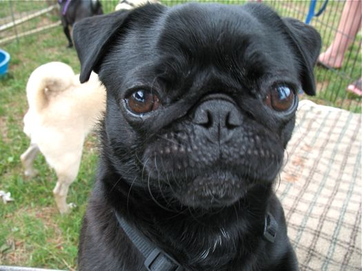 serious pug