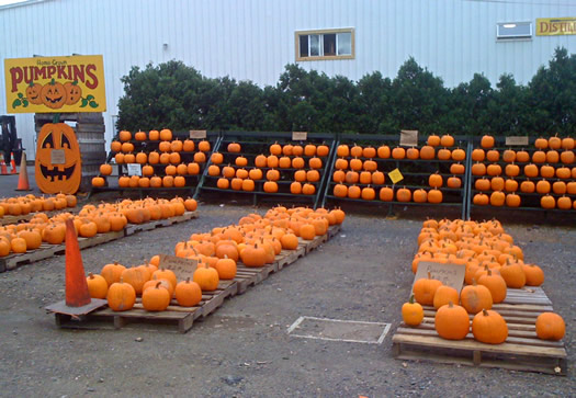 pumpkins at Golden Harvest