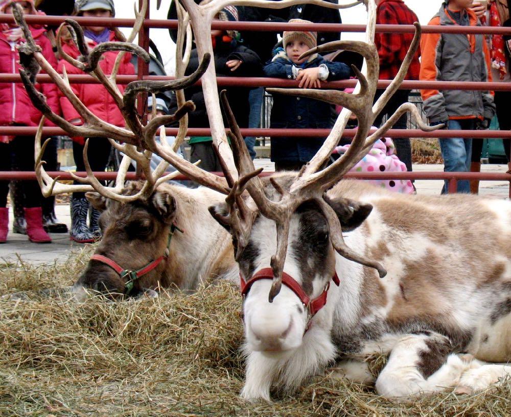 reindeer at Troy Victorian stroll