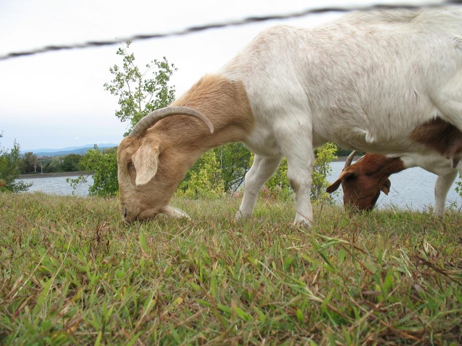 reservoir_goats_follow_up_07.jpg