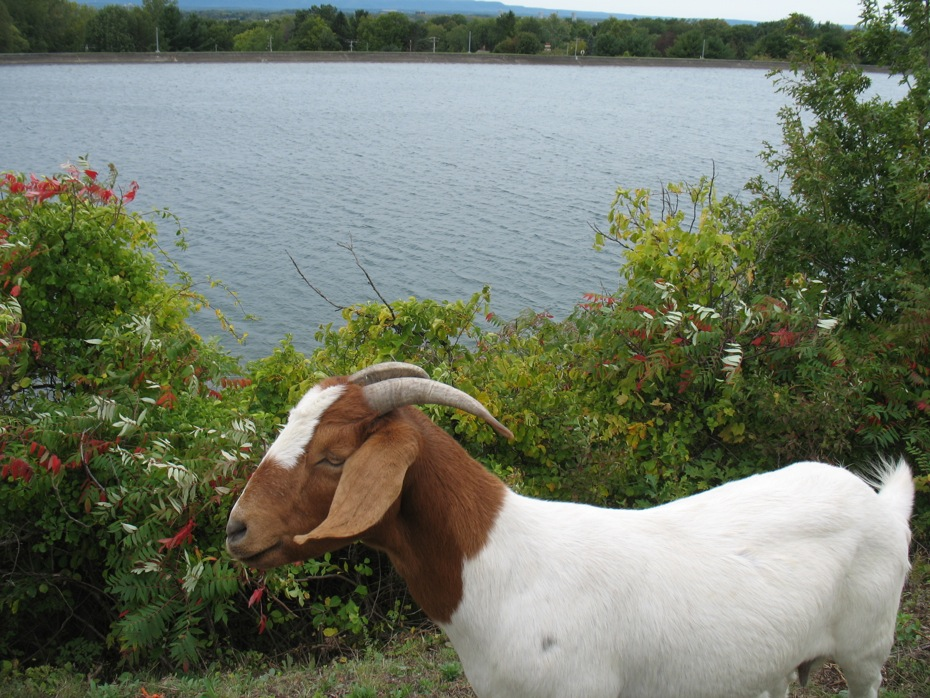 reservoir_goats_follow_up_08.jpg