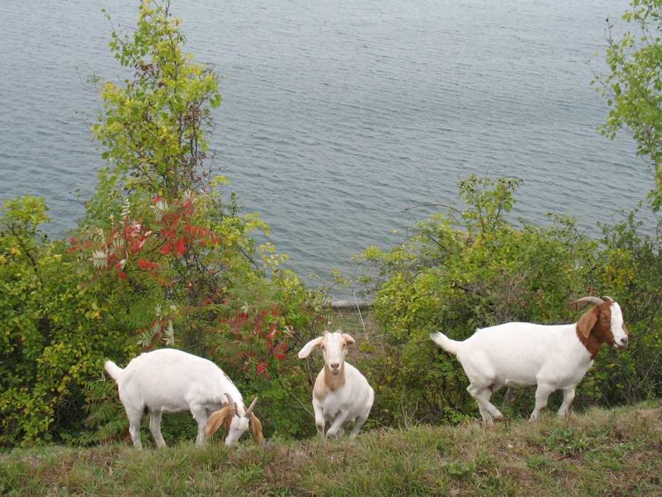 reservoir_goats_follow_up_10.jpg