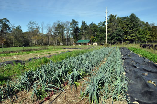 shaker mountain canning leeks