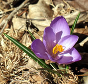 single crocus