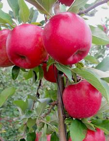 snapdragon apples cornell