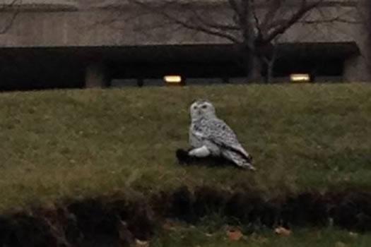 snowy owl rpi