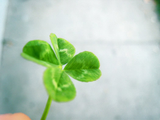 soft focus four leaf clover