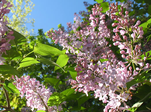 spring 2013 lilacs small