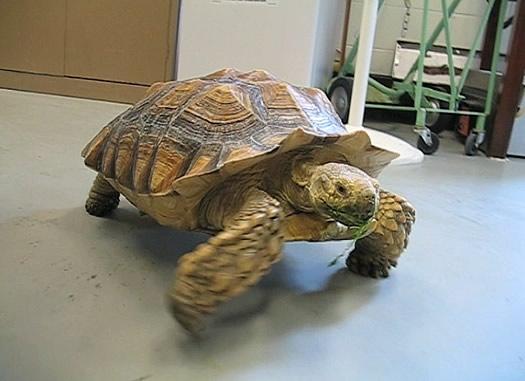 stella the tortoise