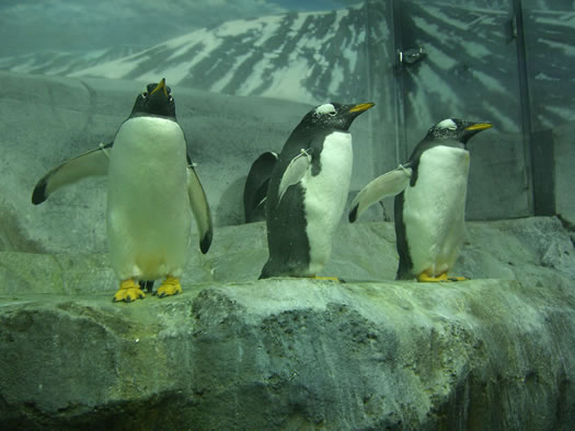 tennessee aquarium penguins