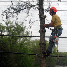 tree service guy in tree