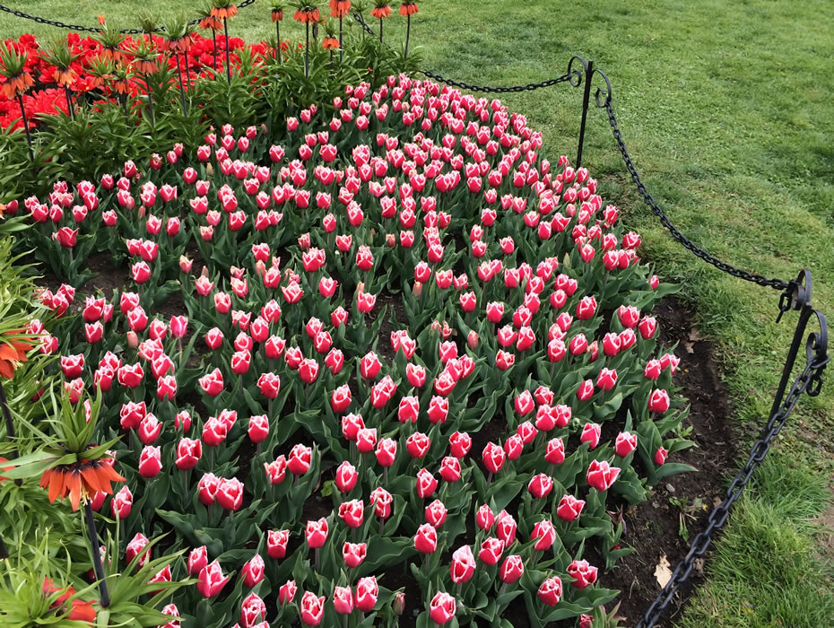 tulip2016_magenta_white_after.jpg