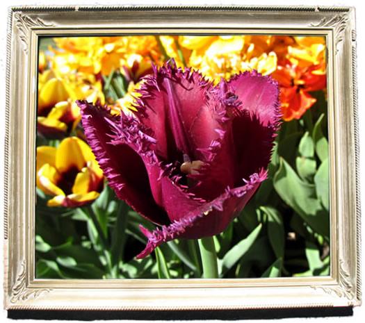 tulip_portraits_curly_sue.jpg