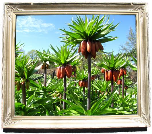 tulip_portraits_kaisers_crown.jpg