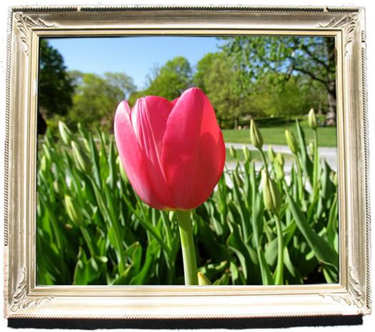 tulip_portraits_kingsblood.jpg